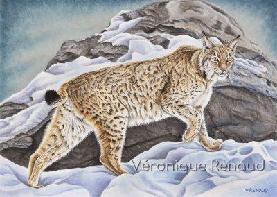 lynx marchant près d'un rocher