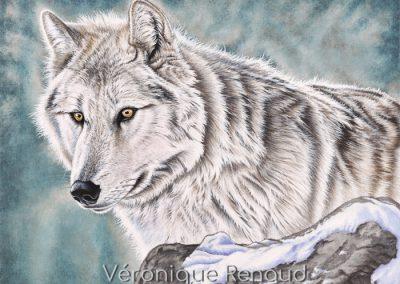 loup blanc du Canada