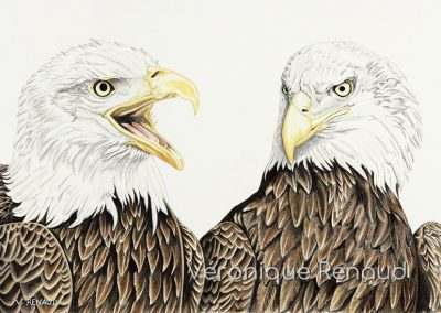 duo d'aigles à têtes blanches
