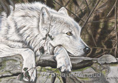 loup blanc au repos
