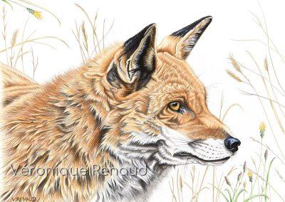 renard roux qui observe