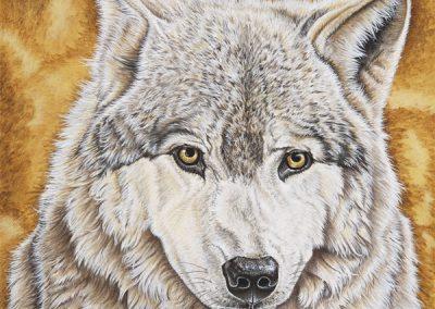 regard de loup gris