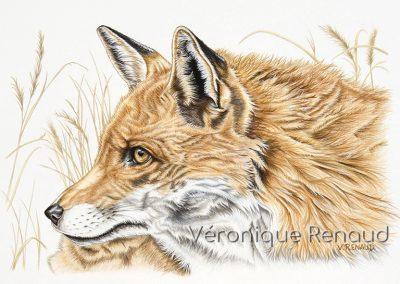 renard roux de profil