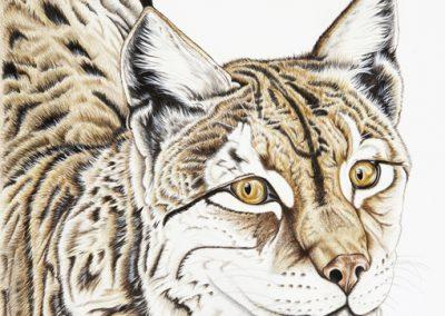 regard de lynx
