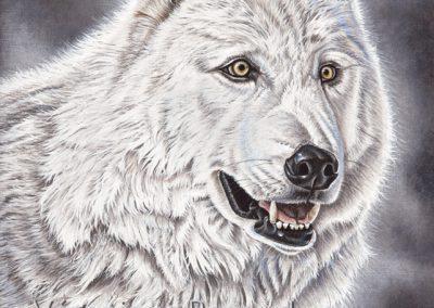 regard de loup blanc