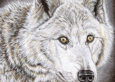 louve blanche regard