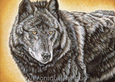 regard de loup noir