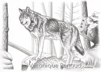 loup qui observe