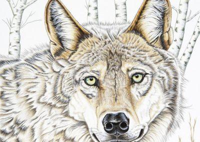 loup au regard clair